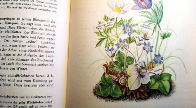 Aus einem alten Pflanzenkundebuch...